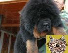 哪里出售正宗铁包金藏獒幼犬 藏獒最低多少钱一只