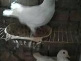 肉鸽一年孵化几窝