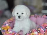 犬舍直销纯种健康可爱的泰迪 血统终身保障
