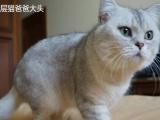 英短英国短毛猫银渐层立耳种公大头提供配种借配服务
