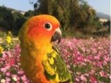 金太阳,紫罗兰各类牡丹鹦鹉