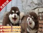 宠物狗 纯种阿拉斯加幼犬 视频看狗 免费送货上门