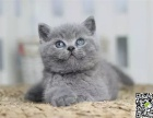 最棒的蓝猫幼犬在这 他们都选这家 精品虎斑 有口皆碑