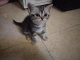 自家繁殖美短虎斑幼猫