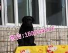 石家庄哪里有狗场出售拉布拉多狗狗幼崽多少钱