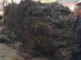 什么时间种植8518核桃苗(生产厂家有哪些)萍乡8518核桃