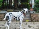 专业繁殖精品马达加斯加斑点狗 帅气拉风 活泼可爱