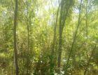大连柳树苗圃,大连柳树苗木,大连地区出售柳树