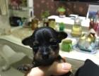 家养纯种小鹿犬宝宝出售