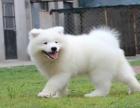 純種薩摩耶幼犬出售 微笑天使薩摩 品相**品質保