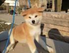 精品秋田幼犬,保证纯度保证健康,保证血统