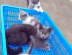 宠物家庭蓝白猫咪