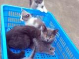 英短蓝猫蓝白,宠物家庭来