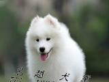 双眼皮微笑天使萨摩耶出售包纯种健康、签协议送狗用品