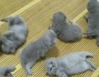 自己繁殖猫咪宝宝