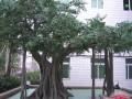 江西仿真室内古榕树室内高大空间装饰景观树