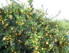 家中有大量温州蜜桔 早熟橘子上市 求采购