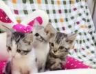 英国短毛猫银色渐层猫加菲猫折耳猫