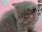 蓝猫幼猫出售 喜欢的预定给优惠 可自提