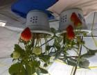 自家培育的草莓盆景