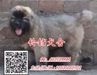 佛山高加索犬价格 佛山在哪里有卖纯种高加索犬 包健康签协议