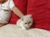 加菲猫出售加菲猫出售