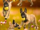 马犬多少钱一只,黑狼犬多少钱一只,哪里出售马犬,黑狼犬