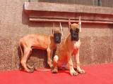纯种大丹犬价格 纯种大丹犬多少钱