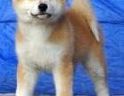 中国大型秋田养殖基地出售高品质秋田幼犬
