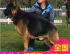 哪里有卖德国牧羊犬犬德国牧羊犬犬多少钱 支持全国发货