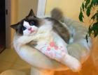 兰州哪里卖布偶猫 布偶猫价格 布偶猫哪里有卖