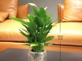 适合武汉企业办公室植物租摆的花卉品种有哪些