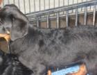 汕头市哪里有罗威纳幼犬 龙湖哪里有卖罗威纳幼犬