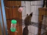 两只松鼠成鼠,一公一母,外加110厘米大型笼子,四斤麻子,十