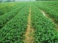 大理草莓苗供应 草莓苗新品种有哪些