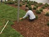 重庆室内植物乔迁开业盆栽办公室绿植花园草坪草皮批发