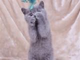 广东茂名双血统蓝白幼猫价钱