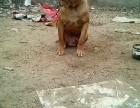 纯种比特犬出售巨型可爱品质保证