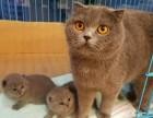 个人家养可爱的英短蓝猫和种猫对外出售(较后几只)