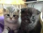 楼房家养英国短毛猫蓝猫渐层出售种公借配疫苗齐全