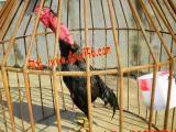 供应凭祥越南斗鸡斗鸡比赛