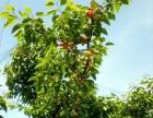 峨庄西石村大樱桃