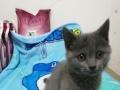 英短,蓝猫,小猫,价不高,买得起