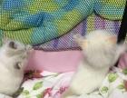 海豹双色 山猫纹 小母 中高白 对称八字脸