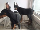 重庆纯种杜宾犬价格 重庆哪里能买到纯种杜宾犬