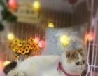 纯种加菲猫 异国短毛猫 扁脸猫