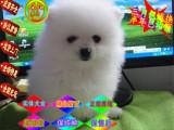 哪里有出售超萌日系俊介犬--球体博美犬多少钱一只