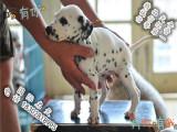 大麦町斑点犬色专业繁殖18年 斑点犬出售 斑点价格
