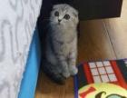 大眼睛苏格兰折耳母猫