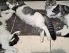 家養虎斑色加菲貓叁月小母陸百可小刀